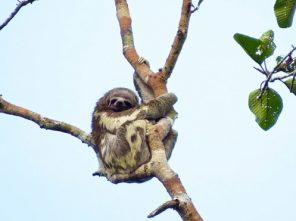 Three-toed Sloth in Amazon rainforest