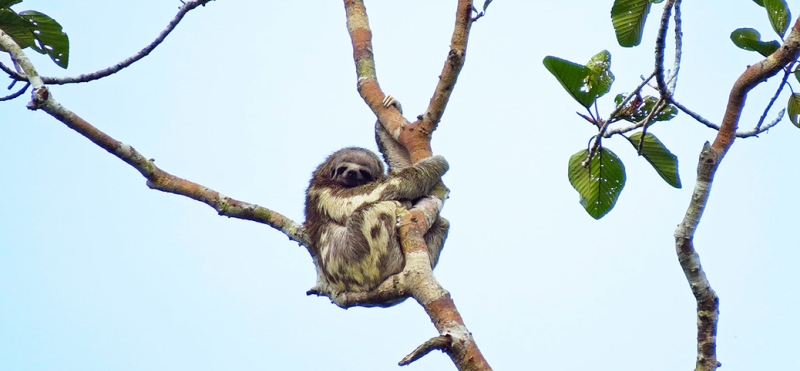 Three-toed Sloth in Amazon rainforest