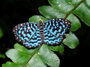 Blue Nymphalid butterfly in Amazon rainforest