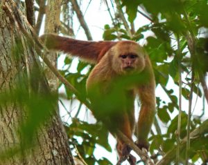 Ecuadorian White-fronted Capuchin