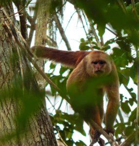 Ecuadorian Capuchin monkey