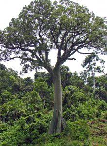 Ceiba trichistandra