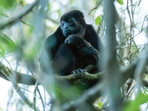 Mantled Howler and infant at BSLL