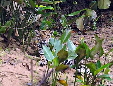 Jaguar in Ecuadorian Amazon