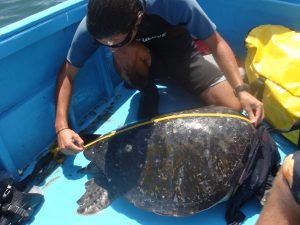 Measuring Sea Turtle in TCS Internship