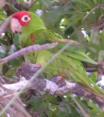 Red-masked Parakeet in Lalo Loor