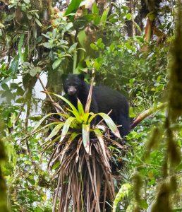 Spectacled Bear at El Pahuma