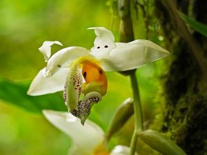 Stanhopea orchid flowers at El Pahuma