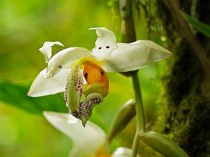 Stanhopea orchid flowers at El Pahuma