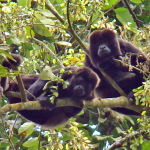Howler Monkeys in Lalo Loor Dry Forest