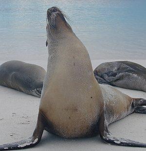 Sea Lion Posing in Galapagos