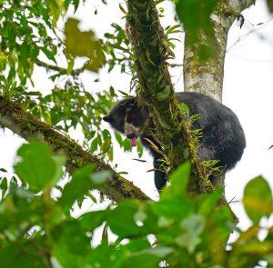 Spectacled Bear near El Pahuma Orchid Reserve
