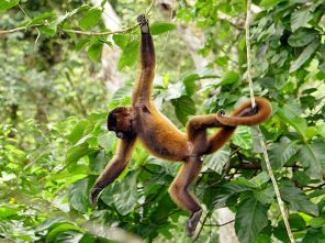 Woolly Monkey hanging out in Amazon rainforest